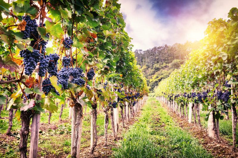 Visite d'un domaine viticole familial